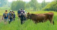 byk to czy krowa ?